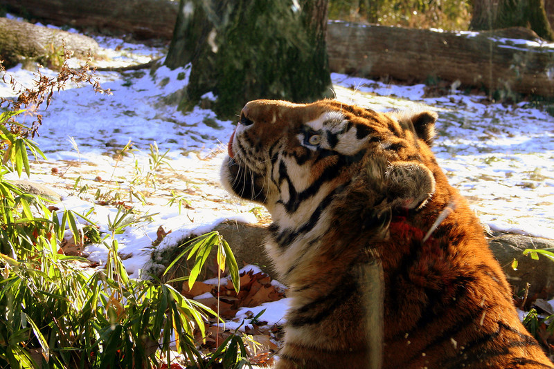 Tiger in Bronx Zoo<br /> New York