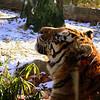 Tiger in Bronx Zoo<br /> New York
