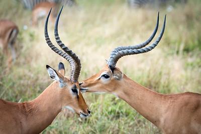 Kiss of the Impala