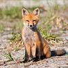 Fire island Red Fox, Fire Island National Seashore