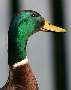 Male Mallard duck - head shot