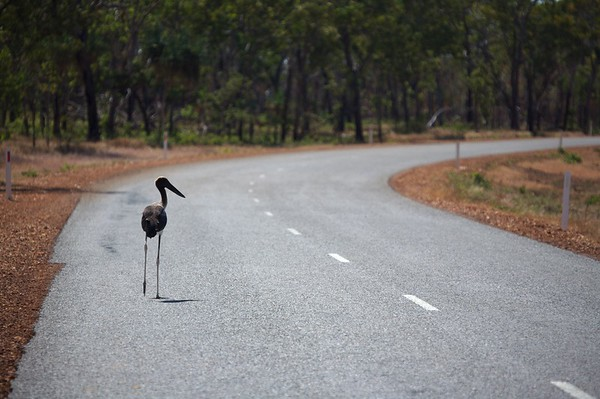 This Jabaru bird is having trouble finding a ride in the outback.