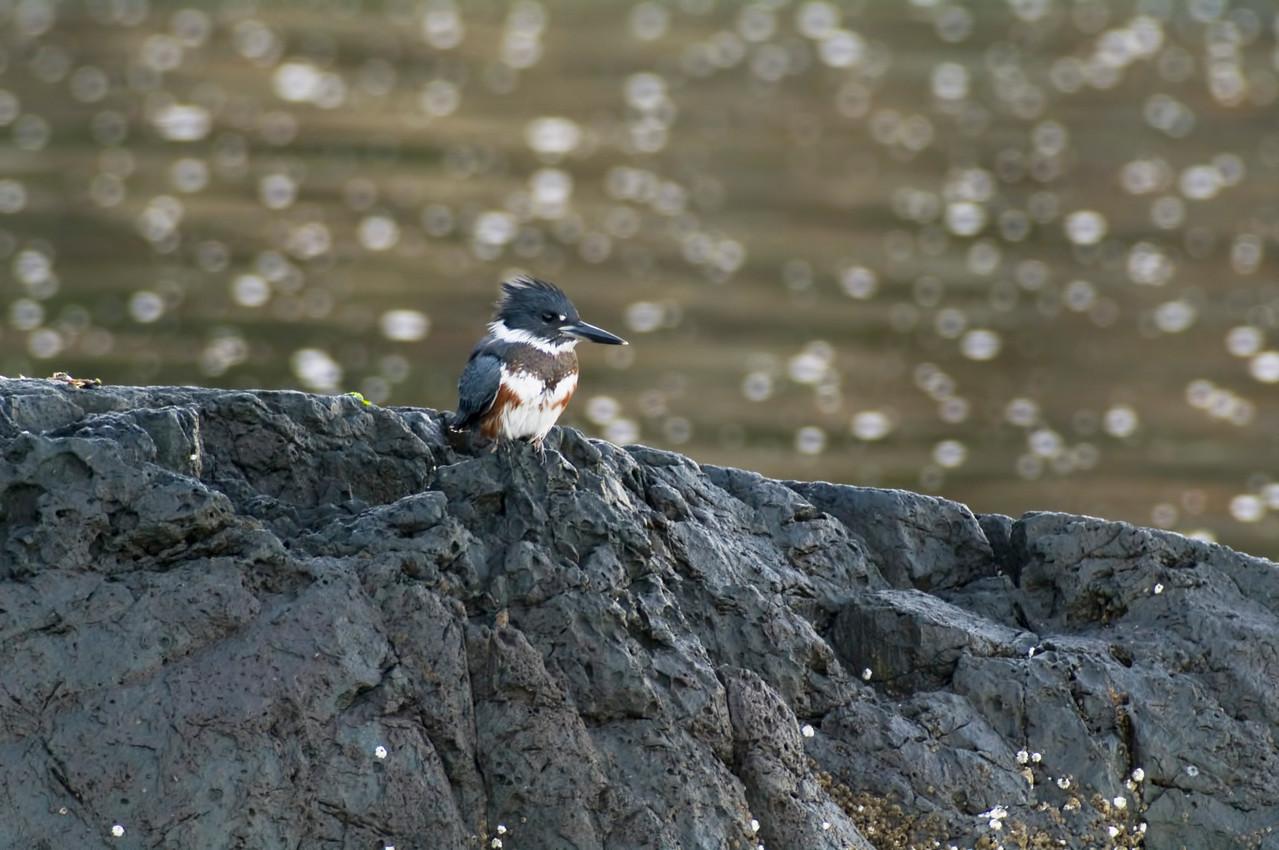 King Fisher @ Esquimalt Lagoon, Victoria, British Columbia Canada <br /> Camera: Pentax K-7 I/ Lens: A*1200/8