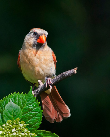 Northern Cardinal female (Cardinalis cardinalis)