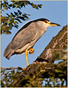 Black Crowned Night Heron - Lombard, IL