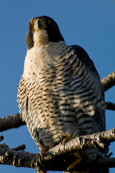 Peregrine falcon, Victoria, BC<br /> Camera: Pentax K-5 / Lens: A*1200/8