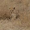 Lion cub<br /> Serengeti, Tanzania