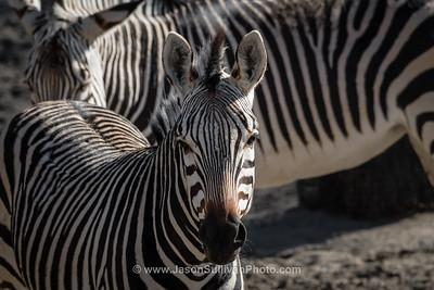 Zebra on Alert