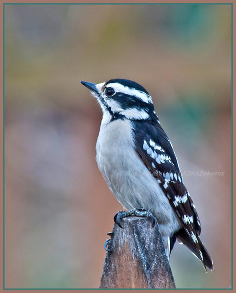 Downy Woodpecker Female - Backyard Birds