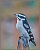 Downy Woodpecker Female - Backyard Birds