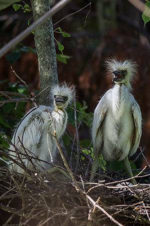 Little Blue Heron chicks