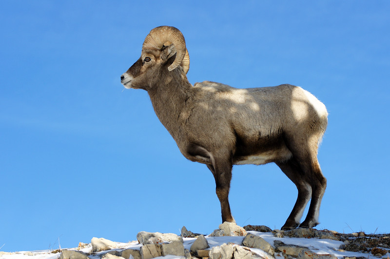 A bighorn ram pauses in the shade atop a rocky ridge.  Lamar Valley, Yellowstone NP, WY<br /> <br /> © Kirk Sagers