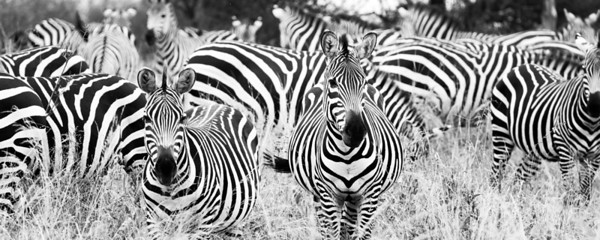 Zebra in Monochrome III
