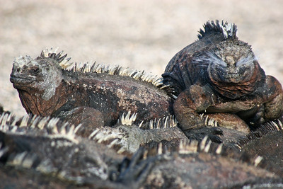 These marine iguanas would all lay on top of each other to conserve heat, here is one mid sneeze.
