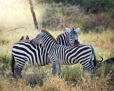 wildlife, africa, tanzania, safari, ngorongoro, tanangire, serengetti, great migration