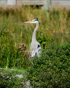 Great Blue Heron_5770
