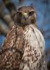 Red Tailed Hawk 1- Morton Arboretum
