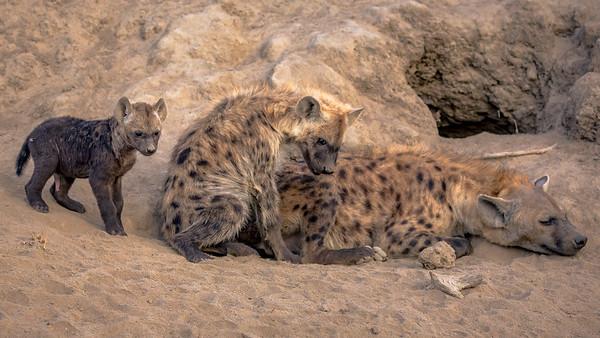 Hyena Accent