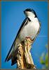 Tree Swallow 3 - Lombard, IL