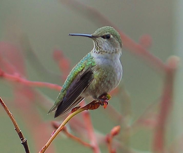 Anna's Hummingbird, Female