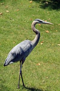 Great Blue Heron (2012)