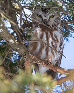 Northern Saw-whet
