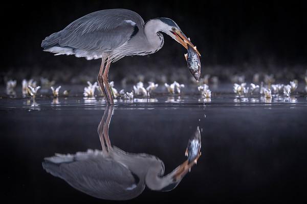 Grey Heron, UK