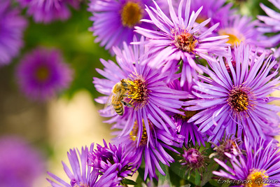 Honey bee sucks nectar from a purple flower