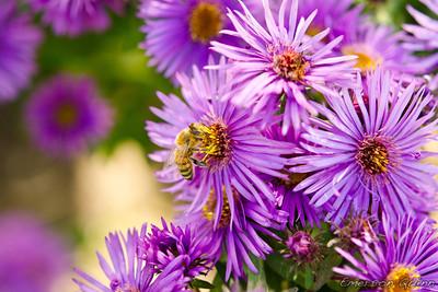 Honey bee sucks nectar from a purple flower
