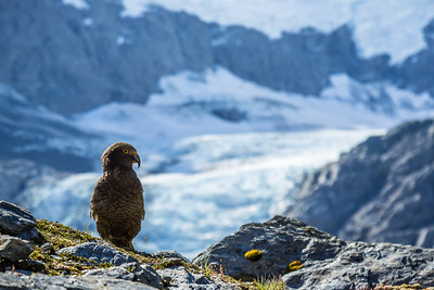 Rare Kea Bird in front of Glacier in New Zealand