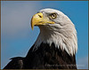 Alaskan Bald Eagle - SOAR
