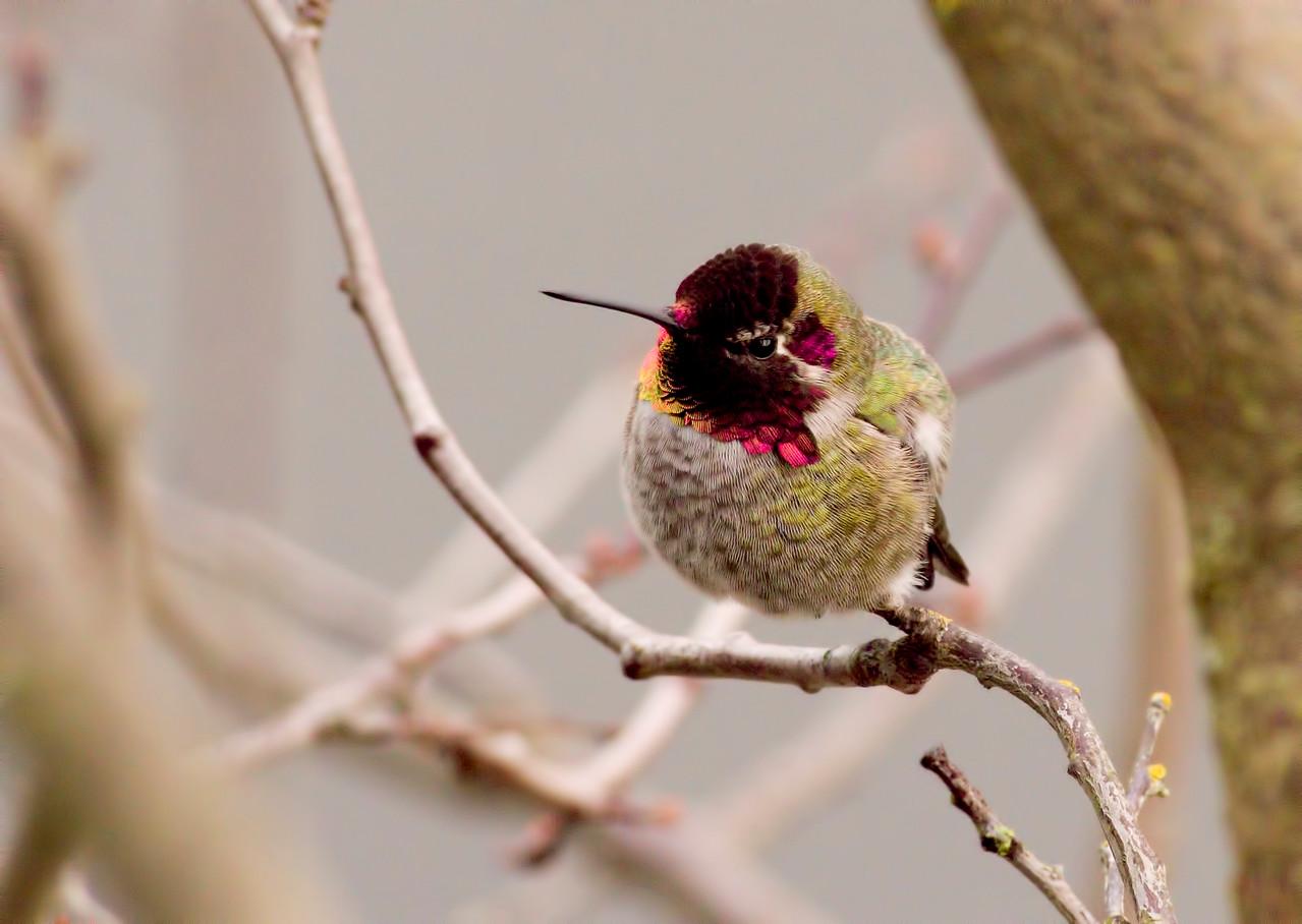 Hummingbird in December - Victoria, British Columbia, Canada<br /> Camera: Pentax K-5 / Lens: A*600/5.6