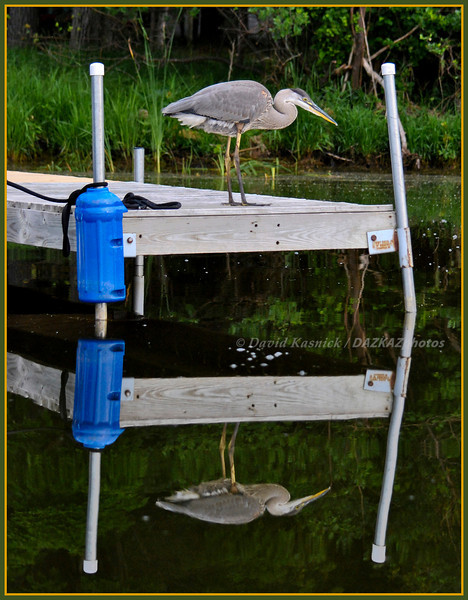Great Blue Heron 04 - Double Dock - Bass Lake, MI