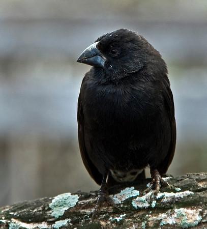 Galapagos Islands Medium Ground Finch<br /> Darwin's Medium Ground Finch ( Geospiza fortis)
