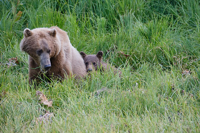 Katmai Sow and her Spring Cub