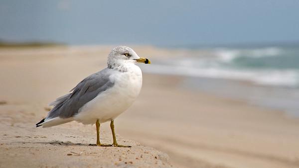 Gull on Fire Island