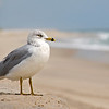 Gull on Fire Island