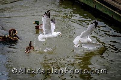 Ducks & SeagullsByAlexKaplan