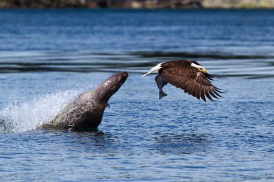While on a whale watching expedition outside Juneau Alaska, we observed a Sea Lion playing with a fish it had caught.  A Bald Eagle who had been circling overhead dove down and stole the fish from the Sea Lion.  The Seal Lion then leaped out of the water in an unsuccessful attempt to retrieve the fish from the Eagle.