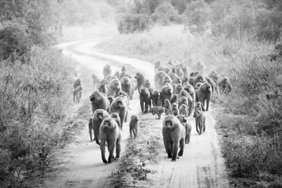 Baboons, Tarangire