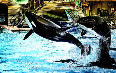 Shamu the whale, with her friend at San Diego Sea World