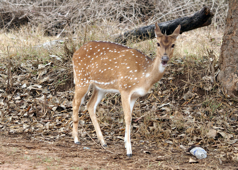 Animal, deer, forest, fawn