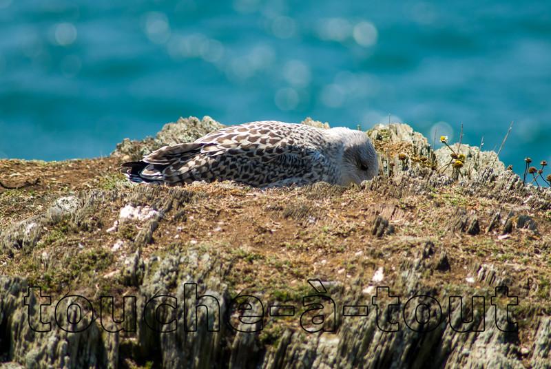 Young seagull, Devon