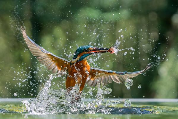 Kingfisher, UK