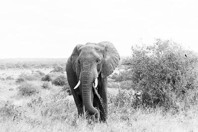 Elephant, Serengetti