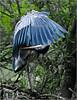 Great Blue Heron 02 - Morton Arboretum