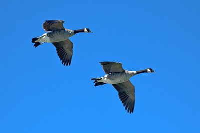 Geese at Palo Alto Baylands