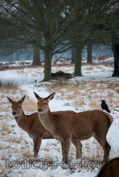 A bird has a rest on a deer in Richmond Park, London
