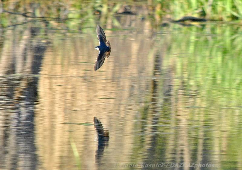 Tree Swallow 4- Morton Arboretum