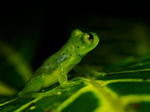 Glass Teee frog